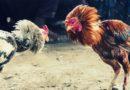 Cara Dan Aturan Dalam Bermain Sabung Ayam Online