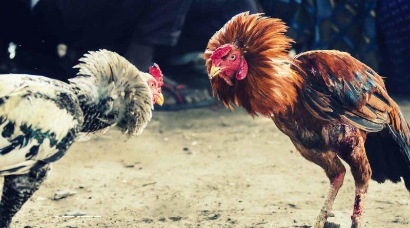 Cara Dan Aturan Dalam Bermain Sabung Ayam Online - Situs